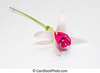 Pink Fuchsia flower, white background, close up