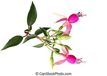 Pink Fuchsia Flowers