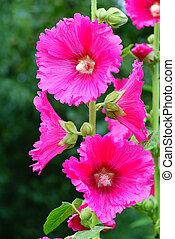 hollyhock - pink full-blown hollyhock on green background