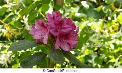 Pink Geranium beautiful plant in a public garden. bud sways...