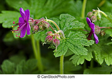 Pink geranium macrorosium or cranesbill flower and buds on a background of green leaves in the garden