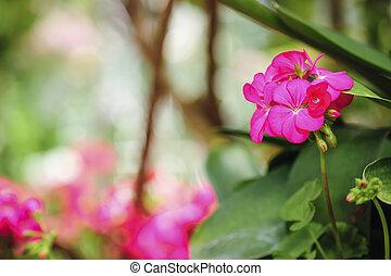 Pink geraniums in a summer garden