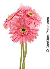 Pink gerber daisies - Three pink gerber daisies in isolated...