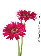 Pink gerber daisies - Two pink gerber daisies in isolated...