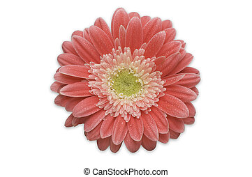 Pink Gerber Daisy Isolated on a White Background.
