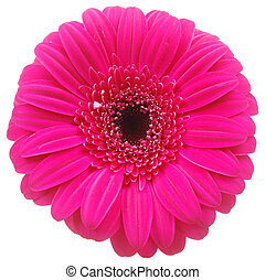 Pink Gerber flower on white - Top view closeup on beautiful...