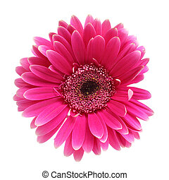 Pink gerber - Pink daisy flower isolated over white...