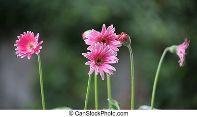 pink gerbera daisies - pink gerberas on a windy day
