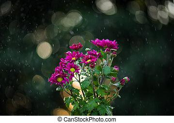 daisy flowers under the rain