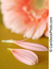 pink gerbera daisy petals with flower in the background - shallow depth of field