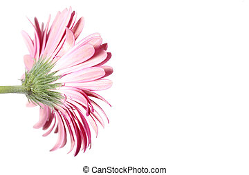 Pink Gerbera Flower from the Back