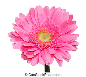 Pink Gerbera Flower - Single fresh pink gerbera flower ...