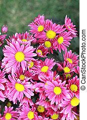 pink gerbera flowers in the garden