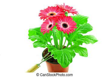Pink gerbera in a pot with floriculture chopper