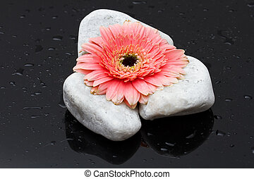 Pink gerbera laying on white rocks and dark wet surface reflection