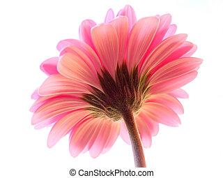 pink gerbera - A perspective shot of a pink gerbera