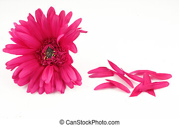pink gerbera with loose petals on the side