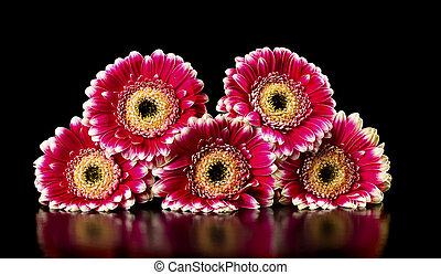 pink gerberas on a black background
