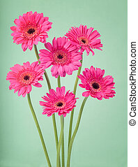 Pink germini flowers on a soft green background