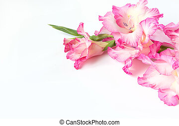 Pink gladiolus on a white. Copy space.