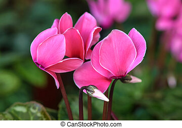 Pink gorgeous cyclamen flower