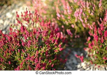 Pink Heathers Horizontal Photo. Summer Moorlands