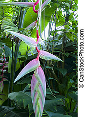 Pink Heliconia Rostrata in Bloom