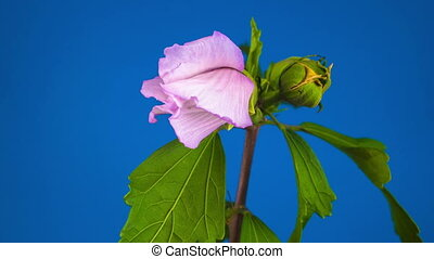 Pink Hibiscus Flower Blooming. Blue Background. Timelapse.
