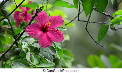 pink hibiscus flower in wind