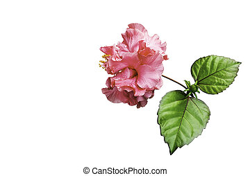 Pink hibiscus flower isolated on white