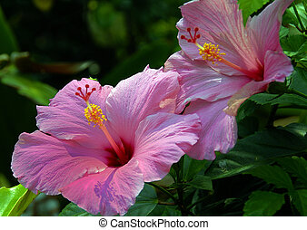 Hibiscus - Pink Hibiscus flower on a bright sunny day