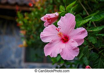 Pink hibiscus flower on tree in garden.