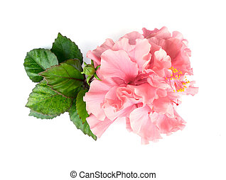 Pink hibiscus flower with leaves on white background.