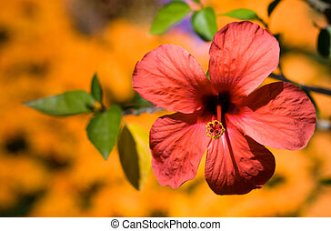 Pink hibiscus on yellow background