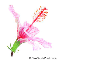 Pink Hibiscus - Pink hibiscus isolated on white