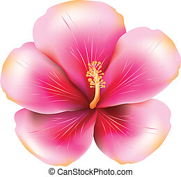 Pink hibiscus - Soft pink hibiscus illustration on white...