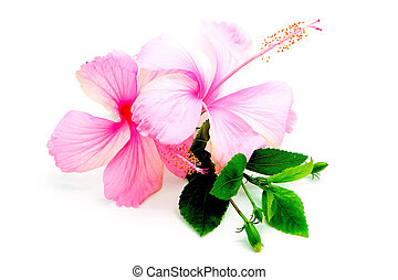 pink Hibiscus - Colorful pink Hibiscus flower, isolated on a...