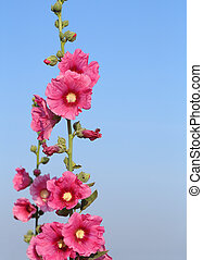 Pink hollyhock (Althaea rosea) blossoms - Pink hollyhock (...
