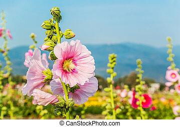Pink hollyhock flower in garden.