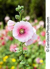 Pink hollyhock flower in the garden