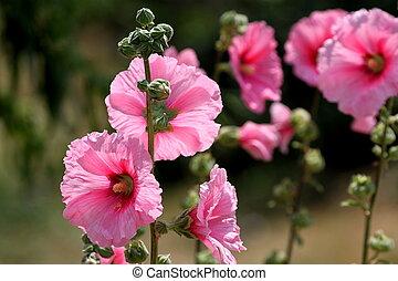 Pink hollyhock, ( hibiscus ) flowers