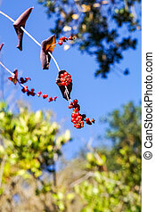 Pink honeysuckle berries, California