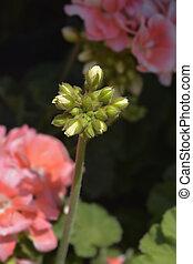 Pink Horse-shoe pelargonium flower buds - Latin name - Pelargonium zonale