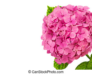 Pink Hortensia  flower (Hydrangea macrophylla) with green leaves isolated on a white background. Hortensia close up