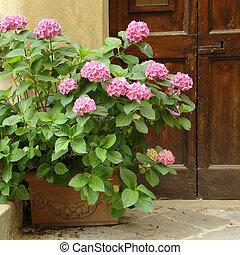 pink hortensia in front of the door...
