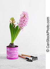 Pink hyacinth and gardening tools on grey concrete background