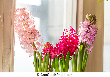 Pink Hyacinth, Hyacinthus orientalis. - Beautiful pink and...