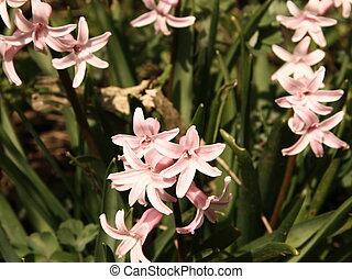 Pink Hyacinth