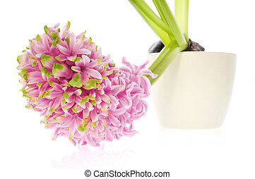 pink hyacinth isolated on the white background
