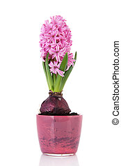 Pink hyacinth in flower pot isolated over white background